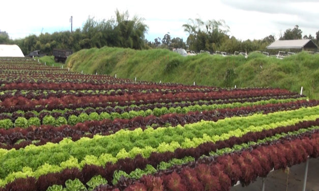 Know Your Farmers:  Waipoli Hydroponic Greens