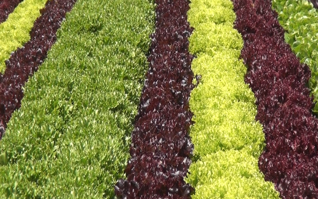 Addressing RLWD:  Food Safety in Action at Waipoli Hydroponic Greens